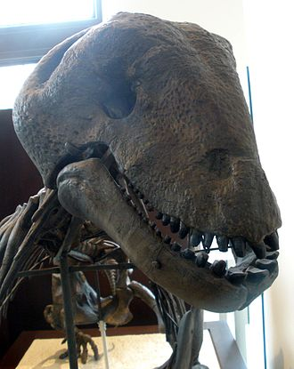 Moschops - A close-up view of the skull of a reconstructed Moschops capensis skeleton. The skeleton is on display at the American Museum of Natural History.