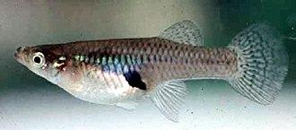 Minnow - A Mosquitofish