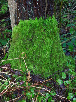 Understory - Tree base showing moss understory limit