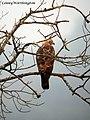 Mountain Hawk-eagle Spizaetus nipalensis (Hodgson, 1836) (16169922527).jpg