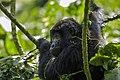 Mountain gorilla (Gorilla beringei beringei) 21.jpg