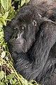 Mountain gorilla (Gorilla beringei beringei) female resting.jpg