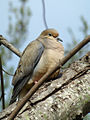 Mourning Dove on Easter day.jpg