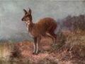 Musk Deer by Swan 1870.png
