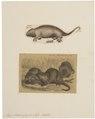 Myopotamus coypus - 1700-1880 - Print - Iconographia Zoologica - Special Collections University of Amsterdam - UBA01 IZ20600129.tif