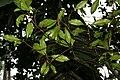 Myristica fragrans W IMG 2455.jpg