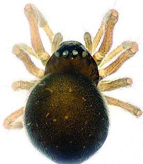 Mysmenidae Family of spiders