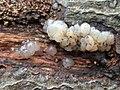 Myxarium nucleatum 105912103.jpg