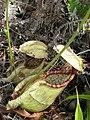 N. rafflesiana6.jpg