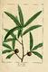 NAS-014 Quercus phellos.png