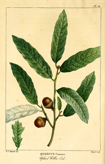 <i>Quercus incana</i> species of plant