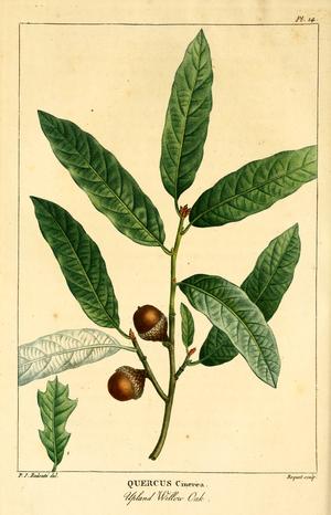 Quercus incana - Image: NAS 016f Quercus incana