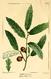 NAS-016f Quercus incana.png