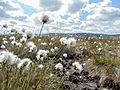 Nahansicht Pflanze, Großes Torfmoor, Hille.jpg