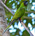 Nanday Parakeet (Nandayus nenday) (31407381560).jpg