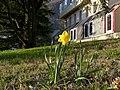 Narcisse jaune à Montmélian (mars 2018).JPG