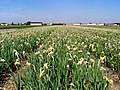 Narcissus field somewhere in Holland.jpg