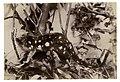 Native Cat, ca.1900-1910 (29202248623).jpg