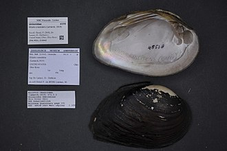 Elliptio crassidens - Image: Naturalis Biodiversity Center ZMA.MOLL.210642 Elliptio crassidens (Lamarck, 1819) Unionidae Mollusc shell