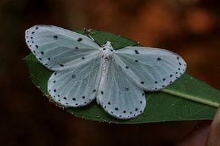 <i>Naxa textilis</i> species of insect