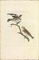 Nederlandsche vogelen (KB) - Plectrophenax nivalis (300b).jpg