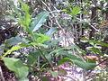 Neermathalam leaf.JPG