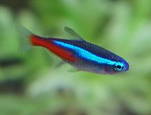 Red and blue striped fish pics 316