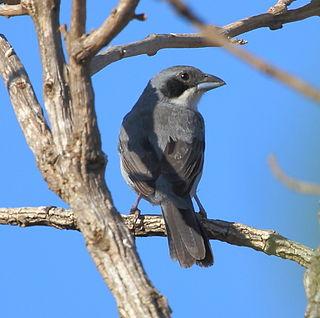Shrike-like tanager species of bird