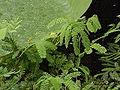 Neptunia oleracea0.jpg