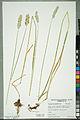 Neuchâtel Herbarium - Alopecurus pratensis - NEU000100156.jpg
