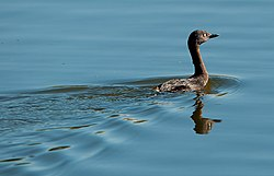 New Zealand dabchick.jpg