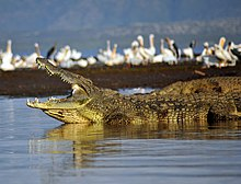 8b831d9fe26 Pelicans have little to fear from crocodiles on land
