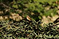 Nilgiri Pipit (Anthus nilghiriensis) on Rhododendron arboreum IMG 2170.jpg