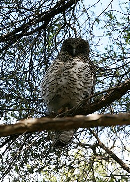 Ninox strenua (Powerful Owl).jpg