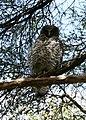 Ninox strenua (Powerful Owl).jpg