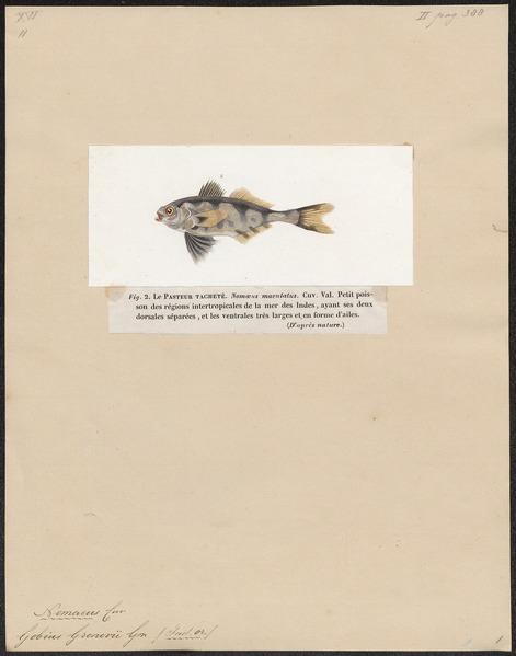 File:Nomeus gronovii - 1700-1880 - Print - Iconographia Zoologica - Special Collections University of Amsterdam - UBA01 IZ13500267.tif