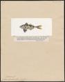 Nomeus gronovii - 1700-1880 - Print - Iconographia Zoologica - Special Collections University of Amsterdam - UBA01 IZ13500267.tif