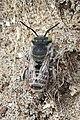 Noordwijk - Zilveren fluitje (Megachile leachella).jpg