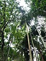 Normanbya normanbyi (three trunks right foregroud) SF21098.jpg