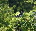 Northern Mockingbird. Mimus polyglottos (24169056877).jpg