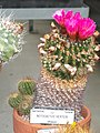 Notocactus herteri - University of California Botanical Garden - DSC08867.JPG