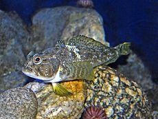 Nototheniidae - Trematomus bernacchii.JPG