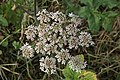 November flowers - Hogweed-Cow Parsnip - geograph.org.uk - 611554.jpg