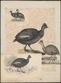 Numida cristata - 1825-1834 - Print - Iconographia Zoologica - Special Collections University of Amsterdam - UBA01 IZ16900320.tif