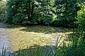Nuphar lutea native waterlily at Woods Mill, Sussex Wildlife Trust, England 01.jpg