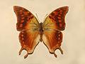 Nymphalidae - Charaxes candiope.JPG