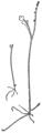 OFH-039 Botrychium maticariaefolium tenebrosum.png