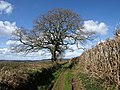 Oak by the bridleway - geograph.org.uk - 750755.jpg