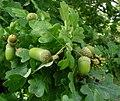 Oak galls (16581764924).jpg