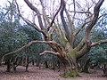 Oak pollard near Amie's Corner, New Forest - geograph.org.uk - 145751.jpg